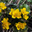 Caltha palustris — Stock Photo
