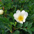 Dog rose (Rosa) — Stock Photo