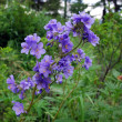 Greek valerian (Polemonium caeruleum) - Stock Photo