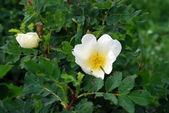 Dog rose (Rosa) — Stock Photo
