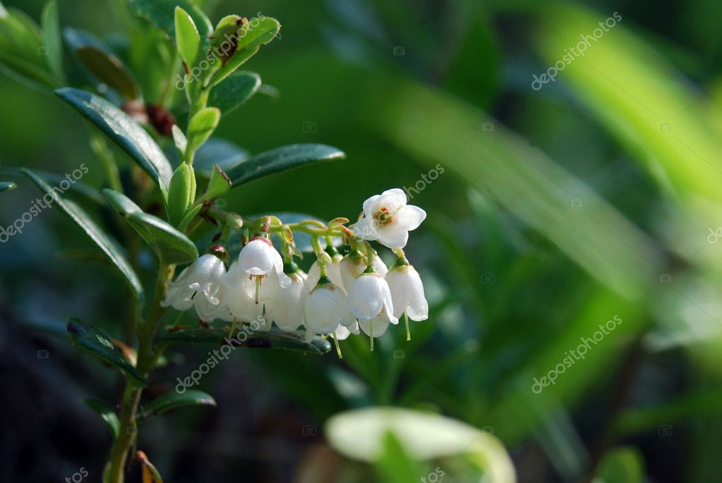 Twig of foxberry with flowers — Stock Photo #1253804