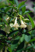Honeysuckle (Lonicera) — Stockfoto