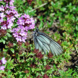Stock Photo: Butterfly on thyme flowers