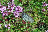 Butterfly on thyme flowers — Stock Photo
