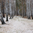 Stock Photo: Birch path