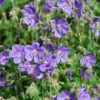 Meadow geranium (Geranium pratense) - Stock Photo