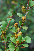 Branch of dwarf birch with flowers — Stockfoto