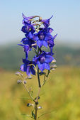 Delphinium (Delphínium) — Stock Photo