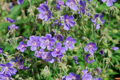 Meadow geranium (Geranium pratense) — Stock Photo