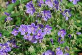 Meadow geranium (Geranium pratense) — Foto Stock