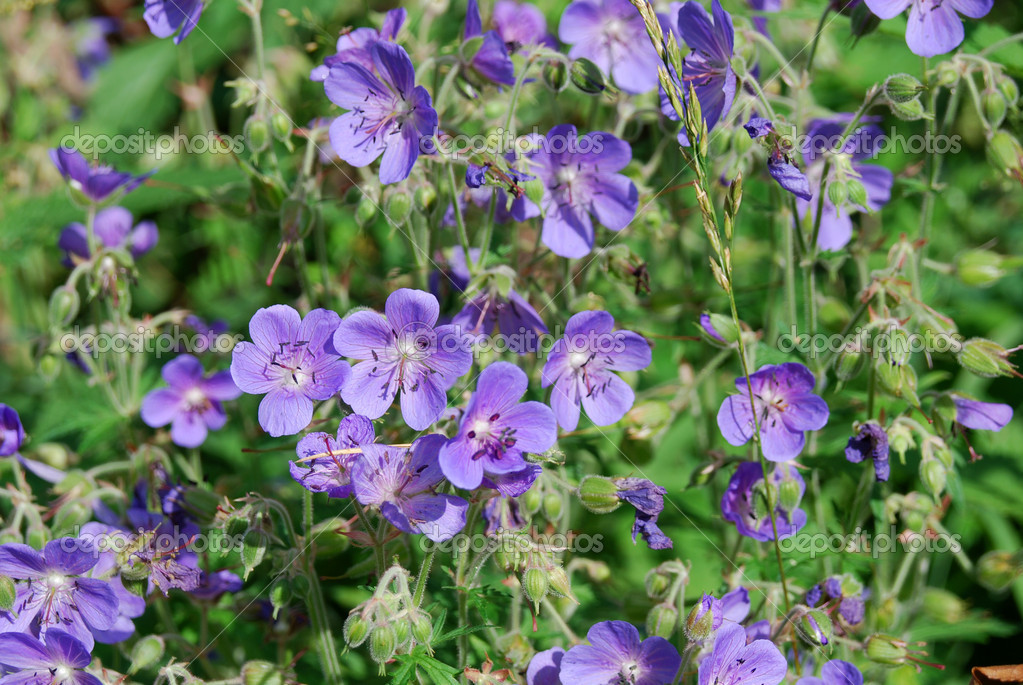Meadow geranium as a background — Stock Photo #1328113
