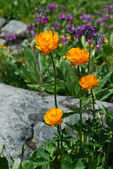 Double buttercup (Trollius altaicus) — Stock Photo