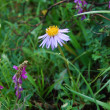 Stock Photo: Aster (Aster)