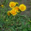 Elecampane (Inula) — Stock Photo