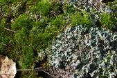 Moss and lichen — Stock Photo