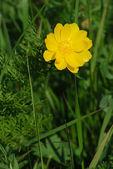 Adonis (Adonis vernalis) — Stock Photo