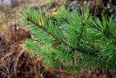 Branch of fir tree — 图库照片