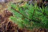 Ramo da árvore do abeto — Foto Stock
