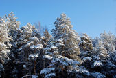 Forest at sunny winter day — Stockfoto