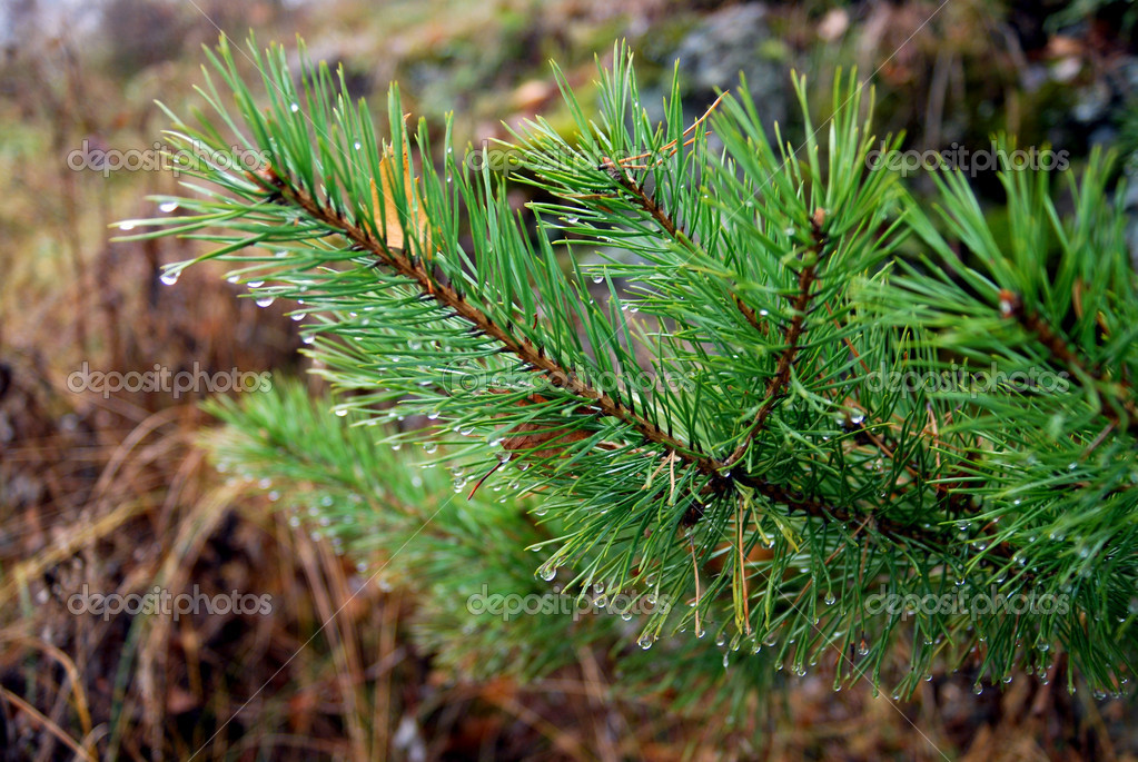 branch of fir tree against the background of autumn forest — Foto de Stock   #1359498