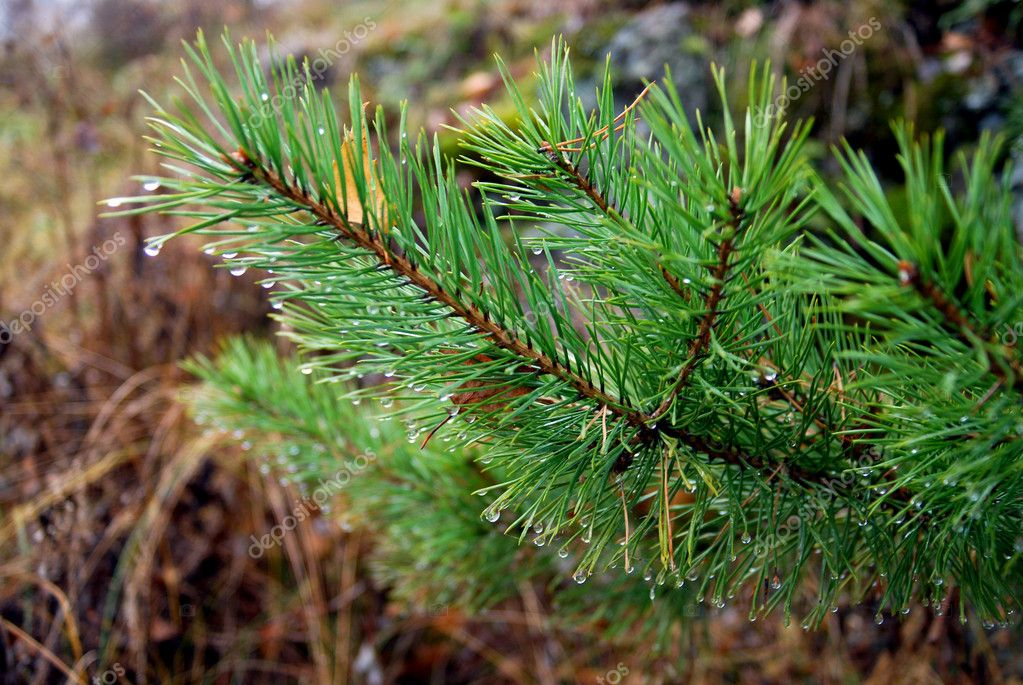 branch of fir tree against the background of autumn forest  Stock Photo #1359498