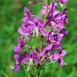 Fireweed (Epilobium angustifolium) - Stock Photo