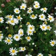 Daisies as a background — Stock Photo