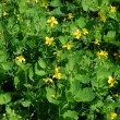 Celandine (Chelidonium) as a background — Stock Photo #1418922