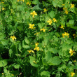 Celandine (Chelidonium) as a background - Stock Photo