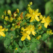 Stock Photo: Hypericum perforatum