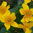 Caltha palustris — Stock Photo #1419119