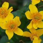 Caltha palustris — Stock Photo