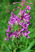 Fireweed (Epilobium angustifolium) — Stock Photo