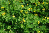 Celandine (Chelidonium) as a background — Stockfoto