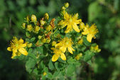 Hypericum perforatum — Stock Photo