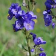 Polemonium caeruleum — Stock Photo