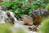 Rock rabbit (Ochotona) — Stock Photo