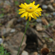 Morgan (Anthemis subtinctoria) — Stock Photo