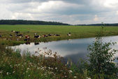 Herd of cows grazing on field — Stockfoto