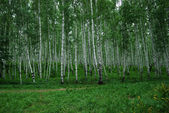 Birch grove — Stockfoto