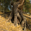 Stock Photo: Roots of pine