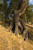 Roots of a pine — Stock Photo