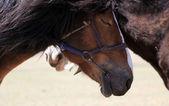 Horse closed eyes — Stock Photo