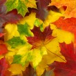 Colorful maple leaves - Stock Photo