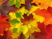 Colorful maple leaves — Stock Photo