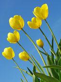 желтые тюльпаны — Стоковое фото