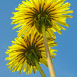 Dandelions couple - Stock Photo