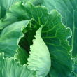 Stock Photo: Growing cabbage