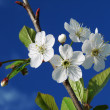 Cherry tree blossom — Stock Photo