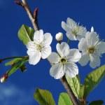 Cherry tree blossom — Stock Photo #1092730